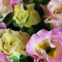 プリムラ✯ジュリアン ゆっくりと開花