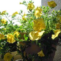 暖かく青天・・ ベランダできれいに咲い...
