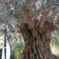 500年も経つオリーブの木!! スペイン...