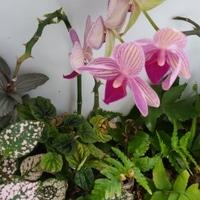 胡蝶蘭の寄せ植え in flower shop