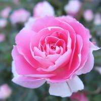 ピンク色の優しい花弁が良い感じです~