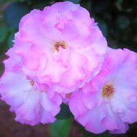 房咲きピンク色が可愛いですよね~