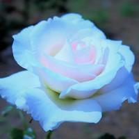 アイスバーグ、優美な白バラの代表選手...