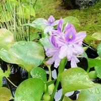 浮き草の花が咲きました! メダカ用に浮...