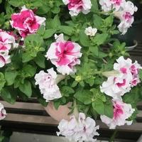 ペチュニア フリルのような花がかわいい