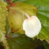 白花のシュウカイドウ  開花が待ち遠し...