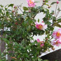 4⃣🌼道路に向けて咲いたツバキの花...ツ...