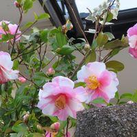 3⃣🌼道路側から眺めたツバキの花...複数...