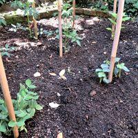 📷野菜畑で縦に伸びるトマト・ピーマン・...