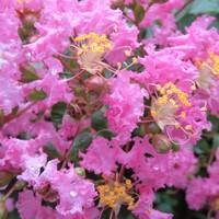🌻涼しくなりサルスベリが、絶好調に花咲...