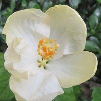 花開こうとしているハイビスカス白雪姫の花