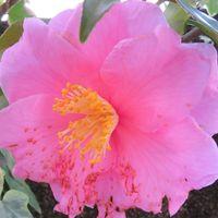 2⃣🌼建屋に向いて咲いたツバキの花...こ...