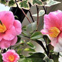 2⃣🌻花びら模様が異なるツバキの花...同...