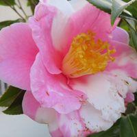 1⃣🌼道路に向けて咲いたツバキの花...昨...