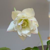 今日はクリスマスローズの種が付いた花...