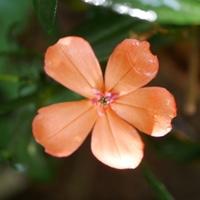 フシグロセンノウ 9/19  まだ咲いていま...