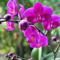 胡蝶蘭 9/19  順調に咲き進んでいます。