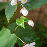 白花秋海棠 9/18  清楚で美しいです。