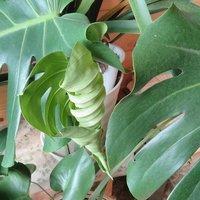モンステラ、葉っぱの、赤ちゃん誕生