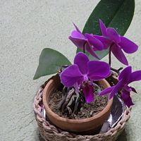 14年目の紫、蕾全部開きました。
