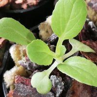 12/11 チンゲン菜 幼苗 可愛い苗です。