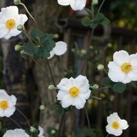 母の庭から・・・、しゅうめい菊。