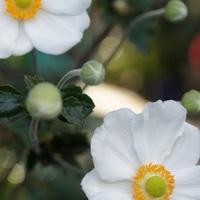 しゅうめい菊。清楚かつ凛とした姿がと...