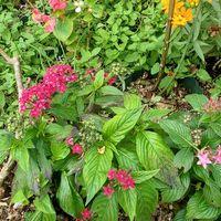 バラ花壇のペンタス、ルドベキア、ベゴニア