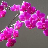 胡蝶蘭 10/9  もうすぐ先の蕾も開花しま...