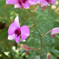 デンファレ 10/9  毎年、秋に咲きます。...