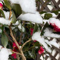 ❄️昨夜遅くから降った雪で、サザンカも...
