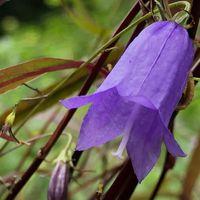 イワシャジンの花が、一つだけ咲いてい...