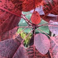 スモークツリーの葉っぱは真っ赤っか。
