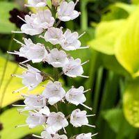 シモバシラの花が、開いて来ました❣️ 冬...
