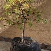 石に植えられた唐松も黄葉