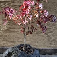 石に植えられた唐楓も紅葉