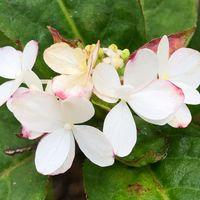 山紫陽花 祖谷てまり 他の花は、ピンク...