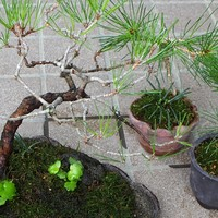 2018.9.12  ミニ盆栽の松、植え替えまし...
