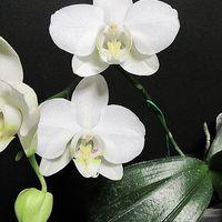 原種の胡蝶蘭 Phal. Amabilis(ファレノ...