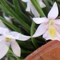 Lpt. tenuis(レプトテス テニウス) レ...