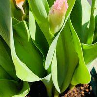 チューリップ・ハウステンボス🌷  # Tulipa