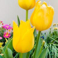 チューリップ・黄小町🌷  # Tulipa