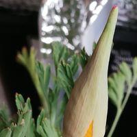 3/2 花びし草 今日も咲きそう