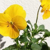 2/21 種まきビオラ 黄色も可愛いな💕