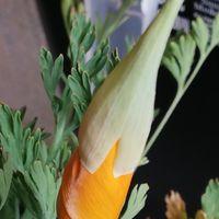 3/2 花びし草 帽子👒が上へと移動中