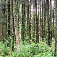梅雨の合間の杉林 蔦も頑張っていますね。