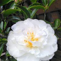 ケロちゃん花壇に咲くサザンカ