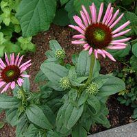 エキナセアです。  近所の公園の花です...