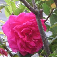📷シャリンバイの木の片隅で咲いたパレー...