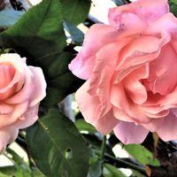 🌻大小の花が寄り添って咲いたクイーンエ...